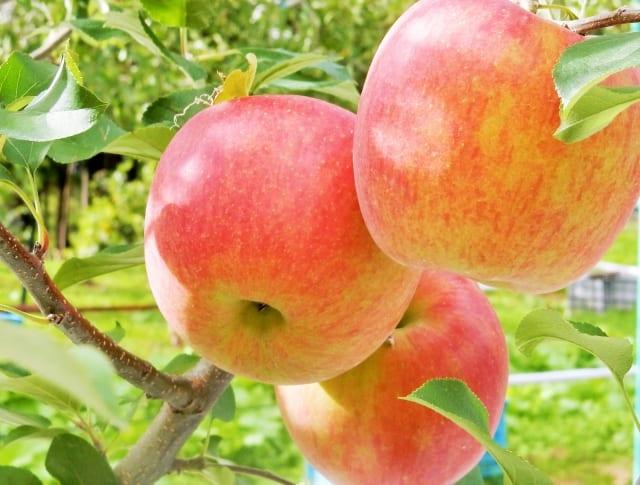 量 ランキング 生産 りんご