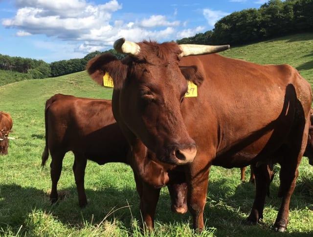 放牧される短角牛の親子