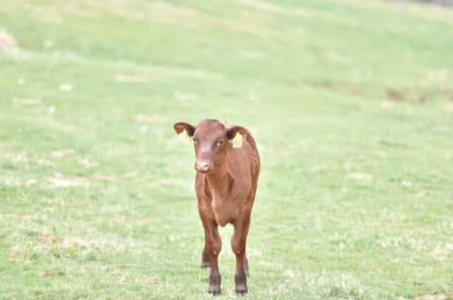 短角牛の仔牛