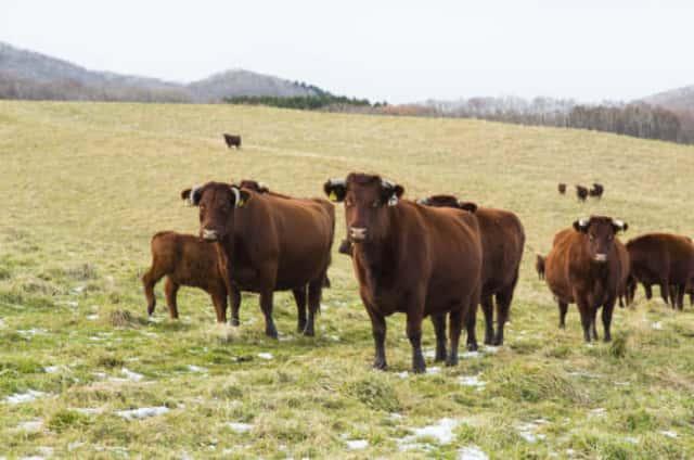 広い牧場に放牧される短角牛