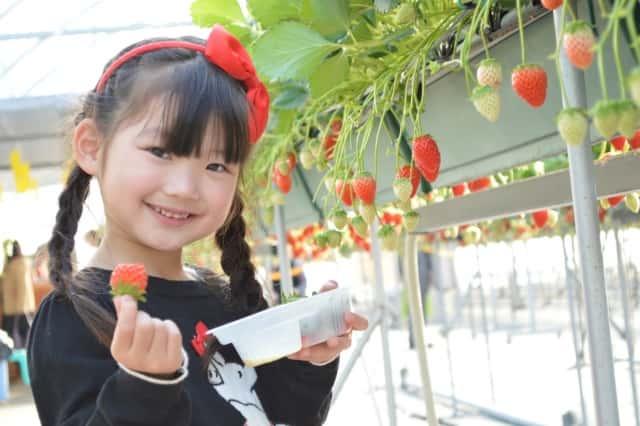 イチゴ狩りをしている女の子