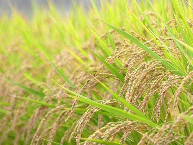 おすすめの無洗米
