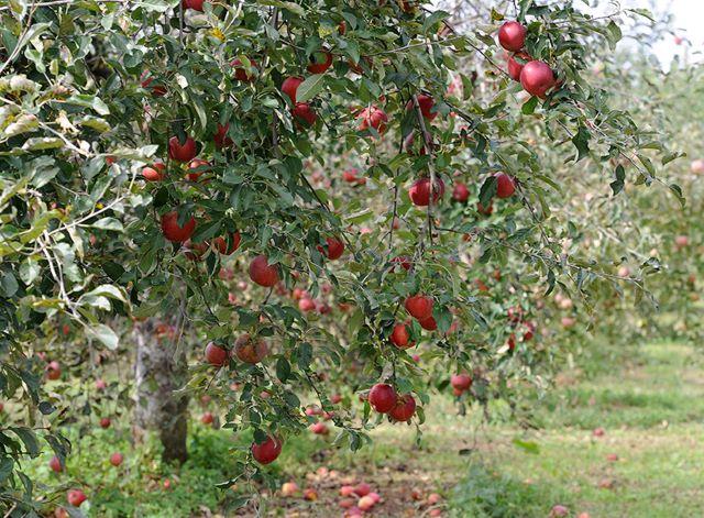 りんご作りから始まる!こだわりのアップルパイ